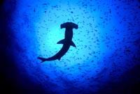 4130 hammerhead shark silhouette into sun creole fish
